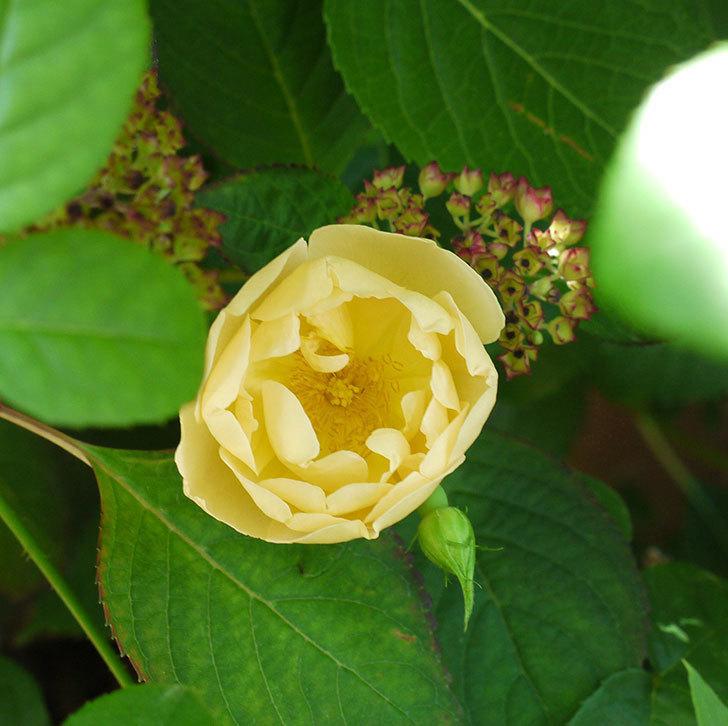 コントゥ・ドゥ・シャンパーニュ(ツルバラ)の花がたくさん咲いた。2017年-11.jpg
