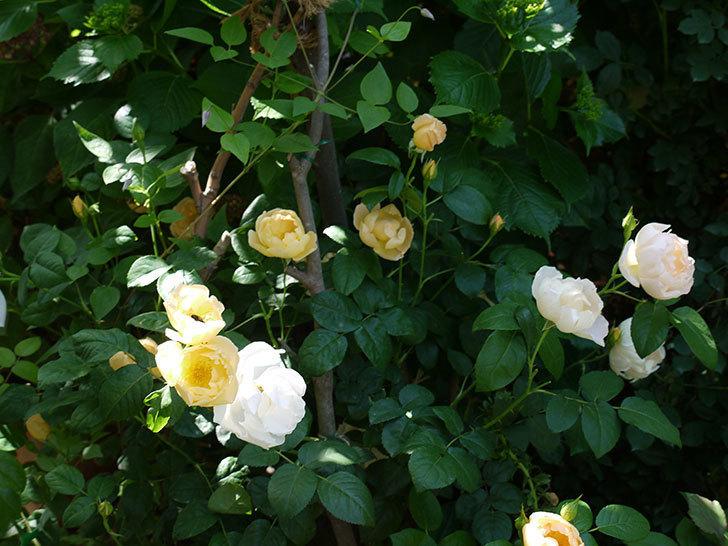 コントゥ・ドゥ・シャンパーニュ(ツルバラ)の花がたくさん咲いた。2017年-12.jpg