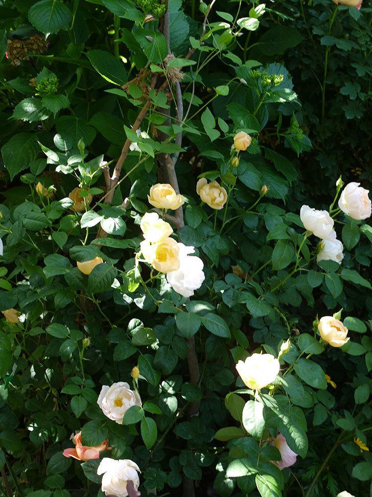 コントゥ・ドゥ・シャンパーニュ(ツルバラ)の花がたくさん咲いた。2017年-13.jpg