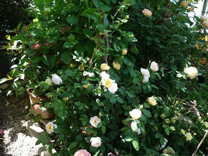 コントゥ・ドゥ・シャンパーニュ(ツルバラ)の花がたくさん咲いた。2017年-14.jpg