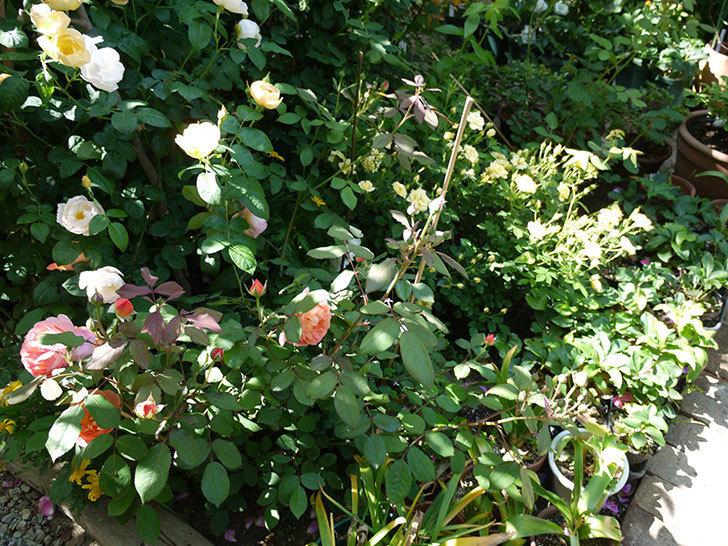 コントゥ・ドゥ・シャンパーニュ(ツルバラ)の花がたくさん咲いた。2017年-15.jpg