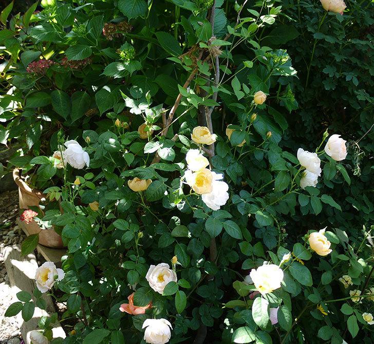 コントゥ・ドゥ・シャンパーニュ(ツルバラ)の花がたくさん咲いた。2017年-2.jpg