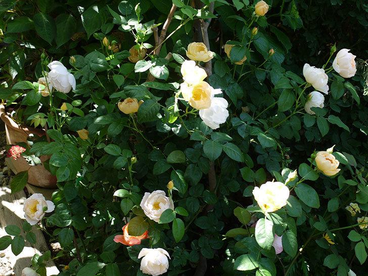 コントゥ・ドゥ・シャンパーニュ(ツルバラ)の花がたくさん咲いた。2017年-3.jpg