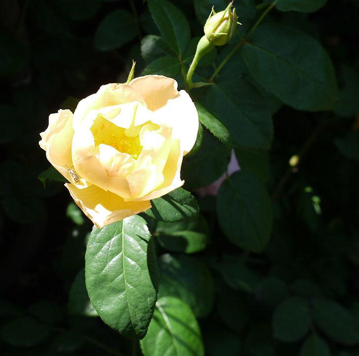 コントゥ・ドゥ・シャンパーニュ(ツルバラ)の花がたくさん咲いた。2017年-4.jpg