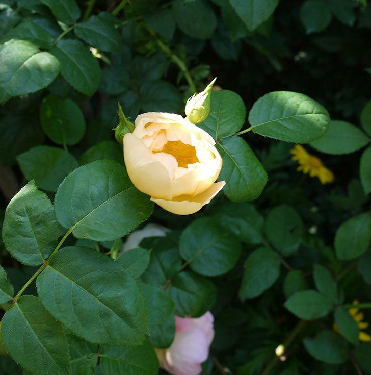 コントゥ・ドゥ・シャンパーニュ(ツルバラ)の花がたくさん咲いた。2017年-5.jpg
