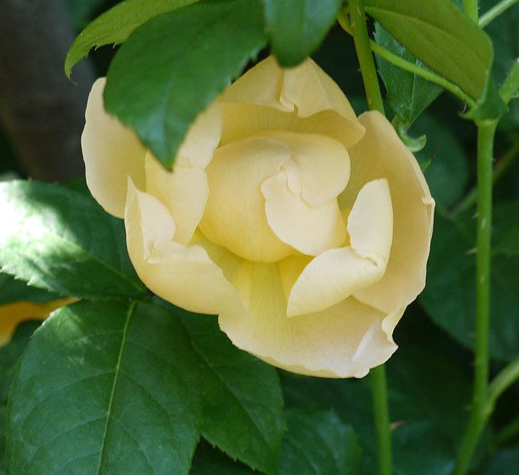 コントゥ・ドゥ・シャンパーニュ(ツルバラ)の花がたくさん咲いた。2017年-8.jpg