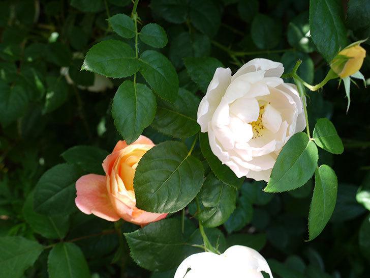 コントゥ・ドゥ・シャンパーニュ(ツルバラ)の花がたくさん咲いた。2017年-9.jpg