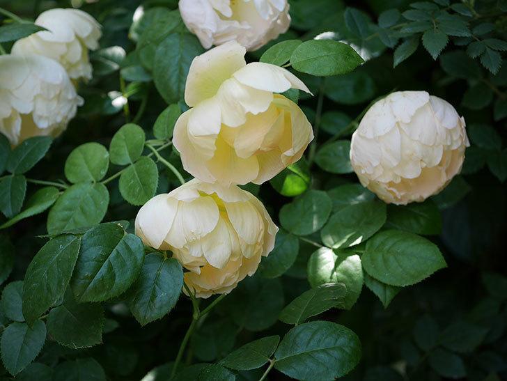 コントゥ・ドゥ・シャンパーニュ(ツルバラ)の花がたくさん咲いた。2018年-1.jpg