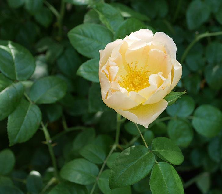 コントゥ・ドゥ・シャンパーニュ(ツルバラ)の花がたくさん咲いた。2018年-10.jpg