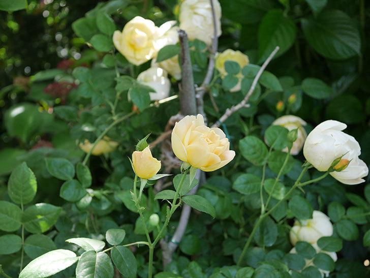 コントゥ・ドゥ・シャンパーニュ(ツルバラ)の花がたくさん咲いた。2018年-11.jpg