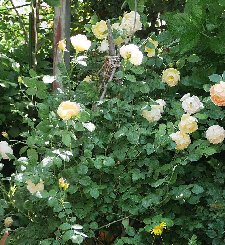 コントゥ・ドゥ・シャンパーニュ(ツルバラ)の花がたくさん咲いた。2018年-12.jpg