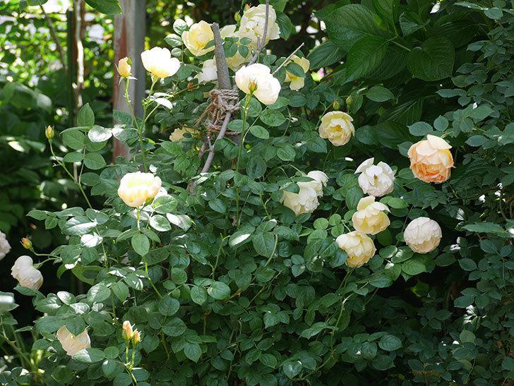 コントゥ・ドゥ・シャンパーニュ(ツルバラ)の花がたくさん咲いた。2018年-13.jpg