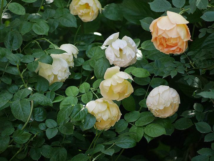 コントゥ・ドゥ・シャンパーニュ(ツルバラ)の花がたくさん咲いた。2018年-14.jpg