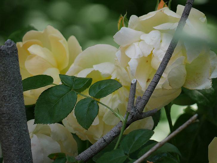 コントゥ・ドゥ・シャンパーニュ(ツルバラ)の花がたくさん咲いた。2018年-15.jpg