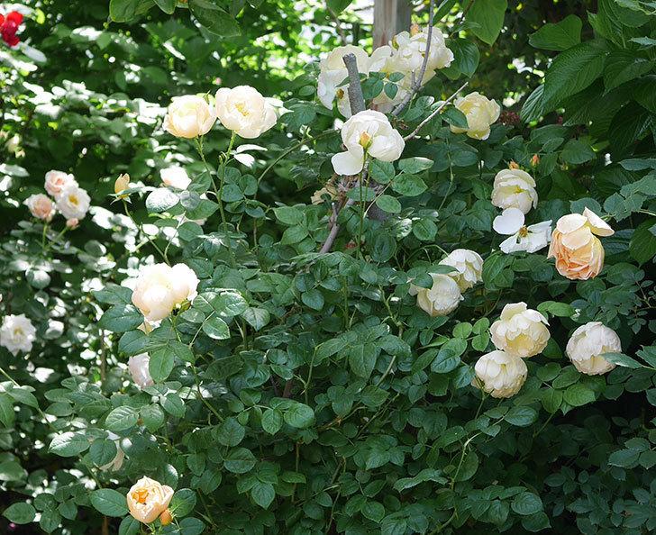 コントゥ・ドゥ・シャンパーニュ(ツルバラ)の花がたくさん咲いた。2018年-17.jpg