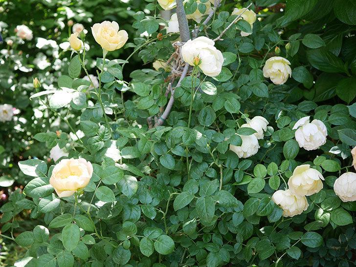 コントゥ・ドゥ・シャンパーニュ(ツルバラ)の花がたくさん咲いた。2018年-2.jpg