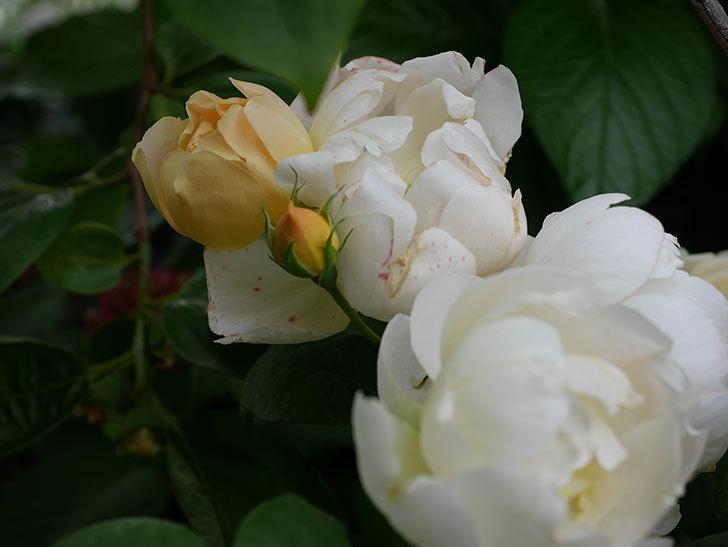 コントゥ・ドゥ・シャンパーニュ(ツルバラ)の花がたくさん咲いた。2018年-20.jpg