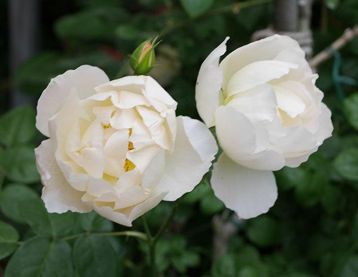 コントゥ・ドゥ・シャンパーニュ(ツルバラ)の花がたくさん咲いた。2018年-22.jpg