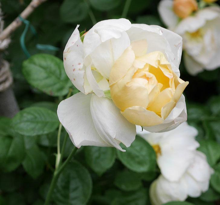 コントゥ・ドゥ・シャンパーニュ(ツルバラ)の花がたくさん咲いた。2018年-23.jpg