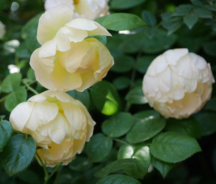 コントゥ・ドゥ・シャンパーニュ(ツルバラ)の花がたくさん咲いた。2018年-3.jpg
