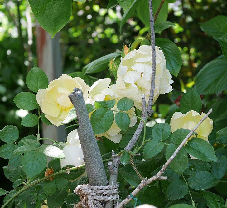 コントゥ・ドゥ・シャンパーニュ(ツルバラ)の花がたくさん咲いた。2018年-4.jpg