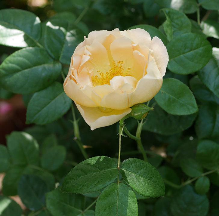 コントゥ・ドゥ・シャンパーニュ(ツルバラ)の花がたくさん咲いた。2018年-5.jpg