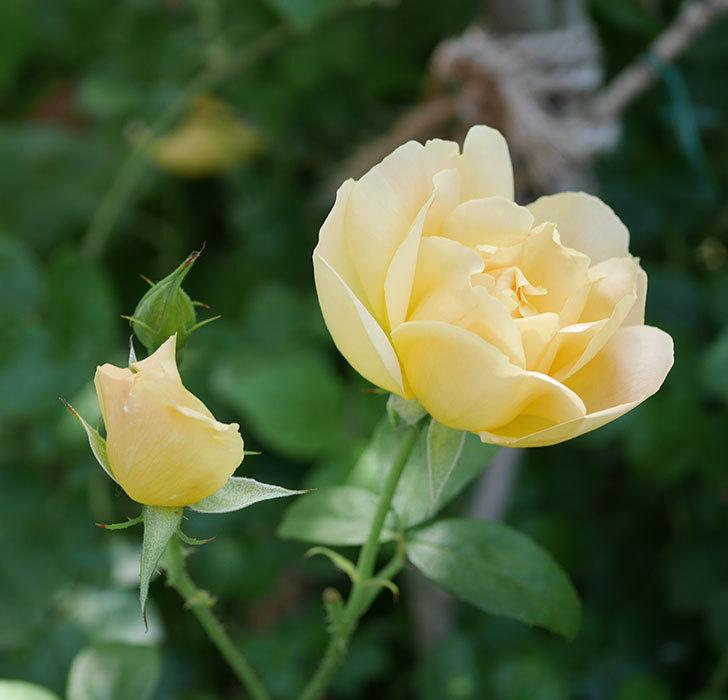 コントゥ・ドゥ・シャンパーニュ(ツルバラ)の花がたくさん咲いた。2018年-7.jpg