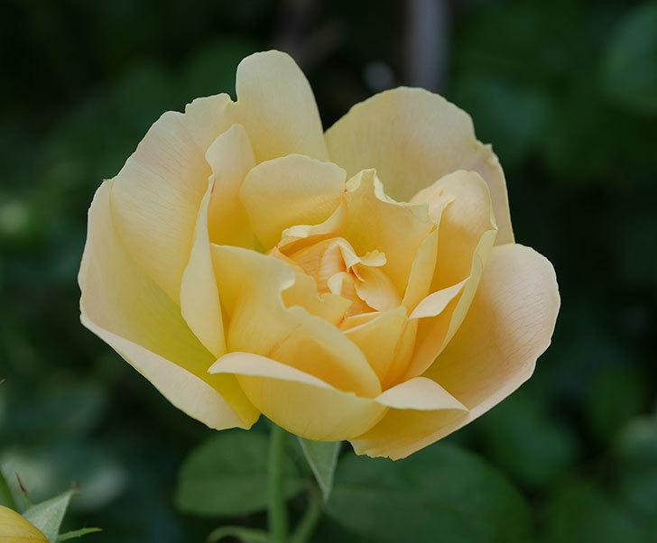 コントゥ・ドゥ・シャンパーニュ(ツルバラ)の花がたくさん咲いた。2018年-8.jpg