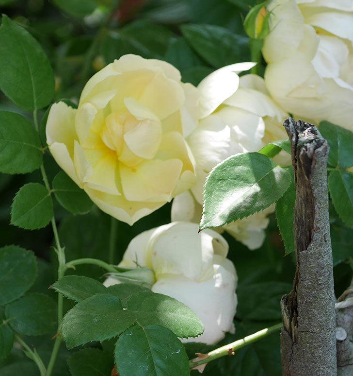 コントゥ・ドゥ・シャンパーニュ(ツルバラ)の花がたくさん咲いた。2018年-9.jpg