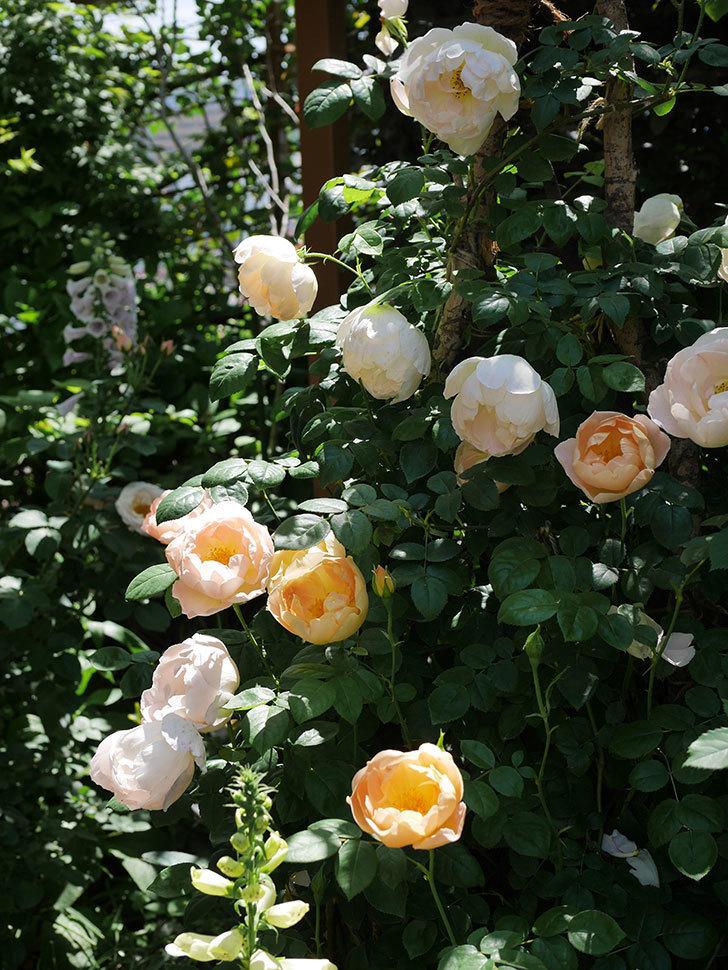 コントゥ・ドゥ・シャンパーニュ(ツルバラ)の花がたくさん咲いた。2019年-1.jpg