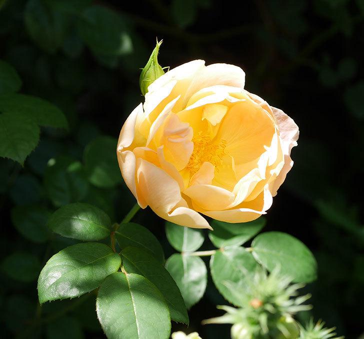 コントゥ・ドゥ・シャンパーニュ(ツルバラ)の花がたくさん咲いた。2019年-11.jpg