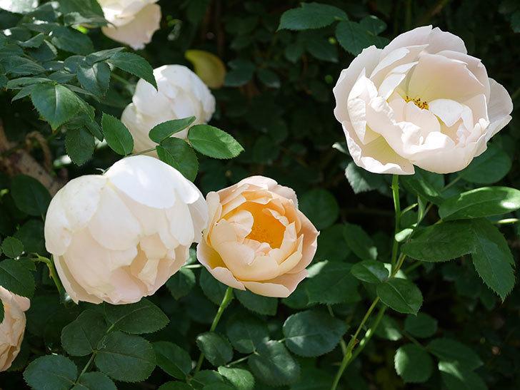コントゥ・ドゥ・シャンパーニュ(ツルバラ)の花がたくさん咲いた。2019年-12.jpg