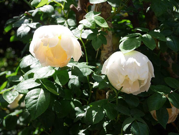 コントゥ・ドゥ・シャンパーニュ(ツルバラ)の花がたくさん咲いた。2019年-13.jpg