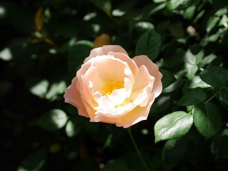 コントゥ・ドゥ・シャンパーニュ(ツルバラ)の花がたくさん咲いた。2019年-14.jpg