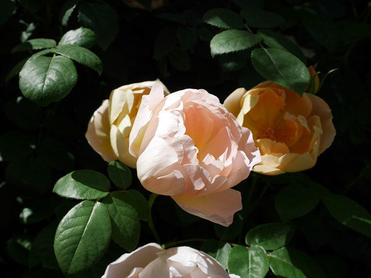 コントゥ・ドゥ・シャンパーニュ(ツルバラ)の花がたくさん咲いた。2019年-15.jpg