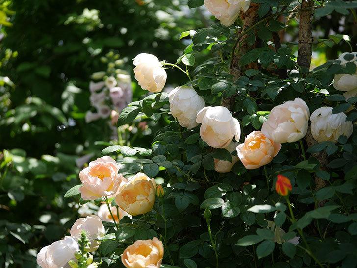 コントゥ・ドゥ・シャンパーニュ(ツルバラ)の花がたくさん咲いた。2019年-16.jpg