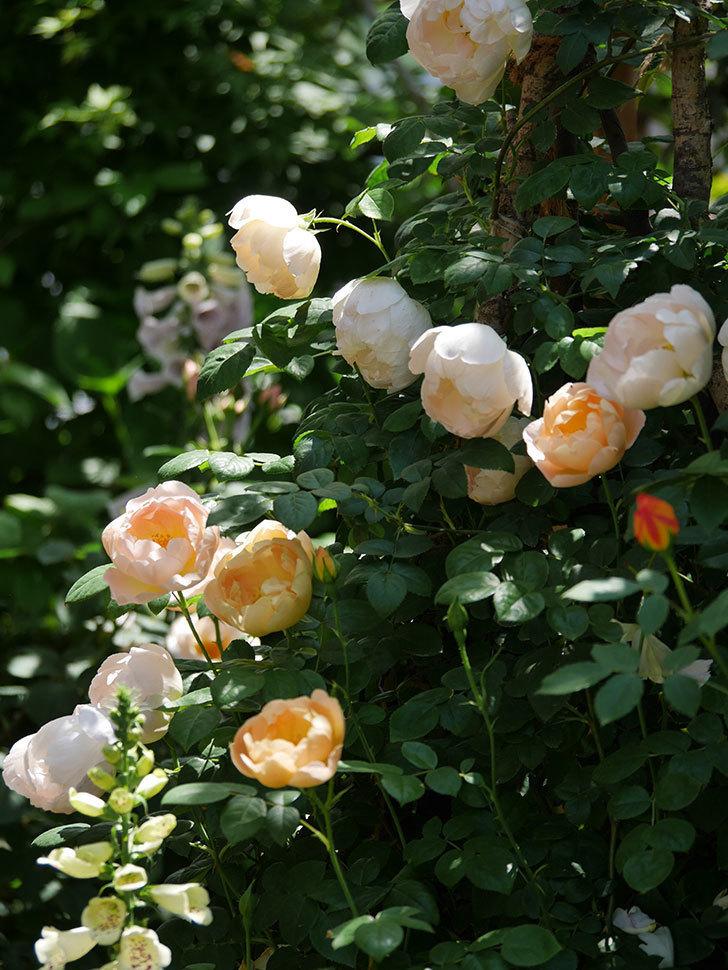 コントゥ・ドゥ・シャンパーニュ(ツルバラ)の花がたくさん咲いた。2019年-17.jpg