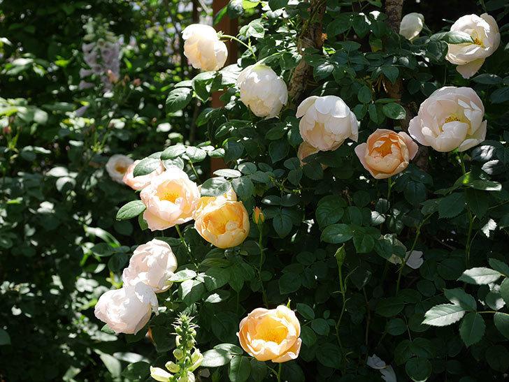 コントゥ・ドゥ・シャンパーニュ(ツルバラ)の花がたくさん咲いた。2019年-2.jpg