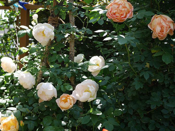コントゥ・ドゥ・シャンパーニュ(ツルバラ)の花がたくさん咲いた。2019年-3.jpg