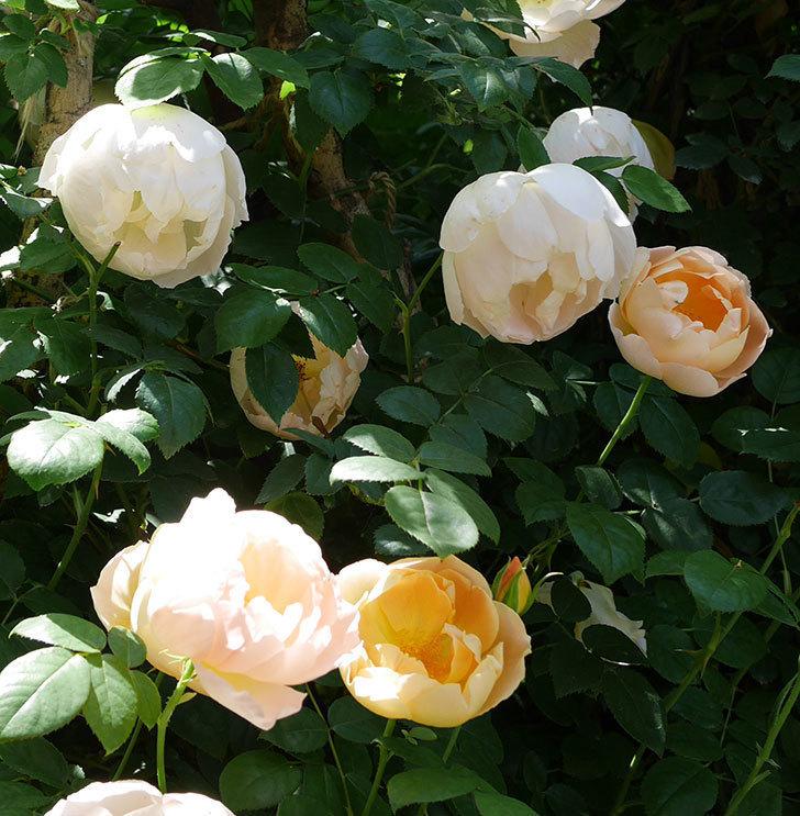 コントゥ・ドゥ・シャンパーニュ(ツルバラ)の花がたくさん咲いた。2019年-5.jpg