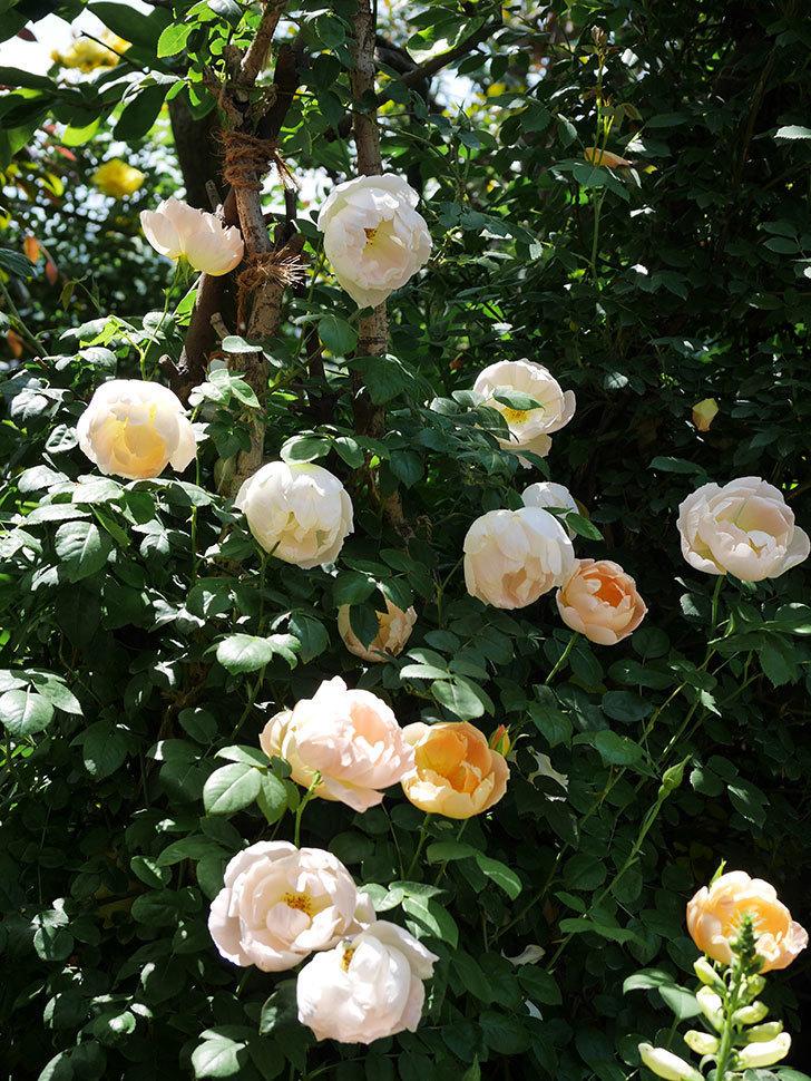 コントゥ・ドゥ・シャンパーニュ(ツルバラ)の花がたくさん咲いた。2019年-6.jpg