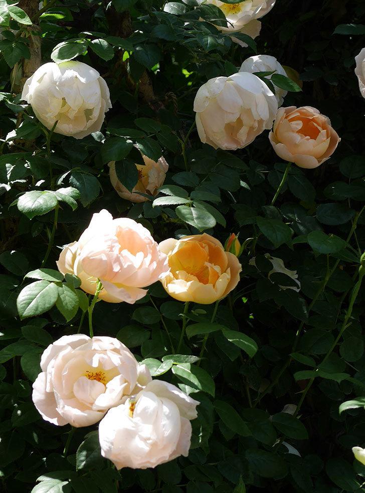 コントゥ・ドゥ・シャンパーニュ(ツルバラ)の花がたくさん咲いた。2019年-7.jpg