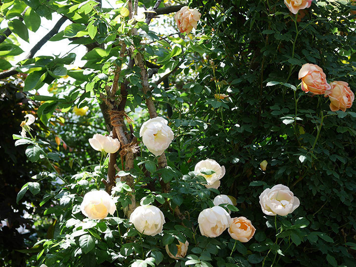 コントゥ・ドゥ・シャンパーニュ(ツルバラ)の花がたくさん咲いた。2019年-8.jpg