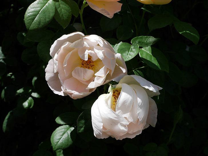コントゥ・ドゥ・シャンパーニュ(ツルバラ)の花がたくさん咲いた。2019年-9.jpg