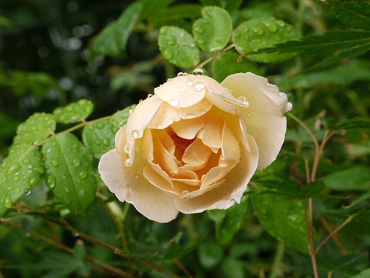 コントゥ・ドゥ・シャンパーニュ(ツルバラ)の花が咲いた。2016年-1.jpg