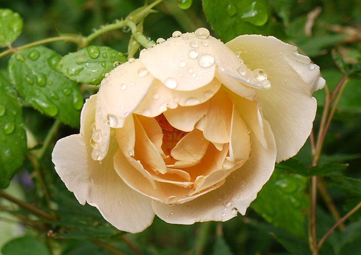 コントゥ・ドゥ・シャンパーニュ(ツルバラ)の花が咲いた。2016年-2.jpg