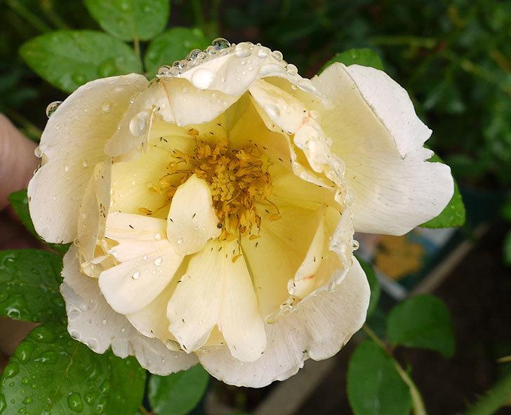 コントゥ・ドゥ・シャンパーニュ(ツルバラ)の花が咲いた。2016年-4.jpg