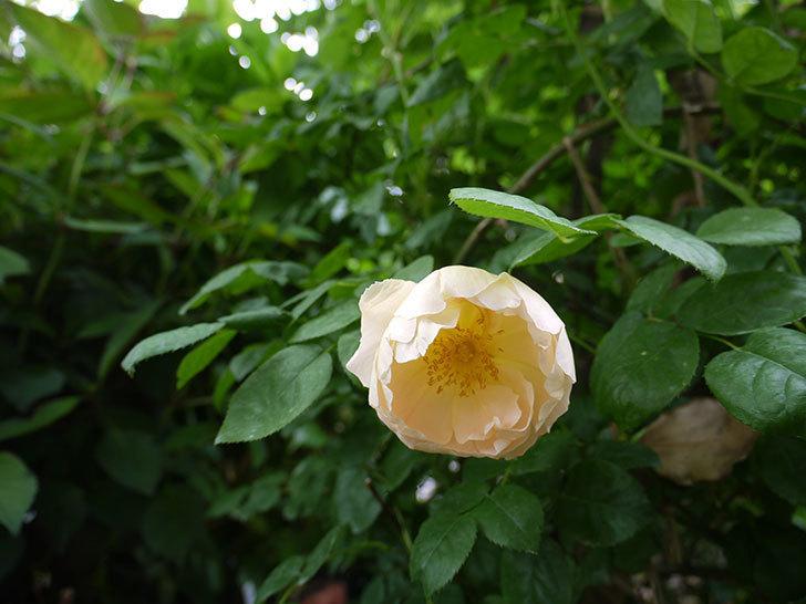 コントゥ・ドゥ・シャンパーニュ(ツルバラ)の花が咲いた。2018年-2.jpg