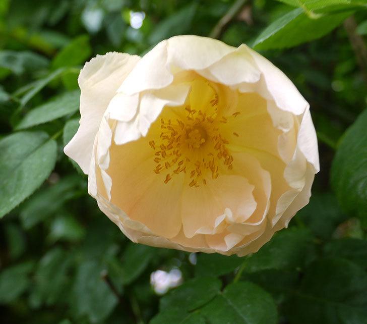 コントゥ・ドゥ・シャンパーニュ(ツルバラ)の花が咲いた。2018年-3.jpg