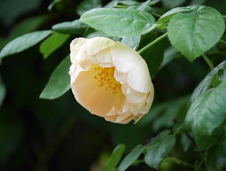 コントゥ・ドゥ・シャンパーニュ(ツルバラ)の花が咲いた。2018年-7.jpg